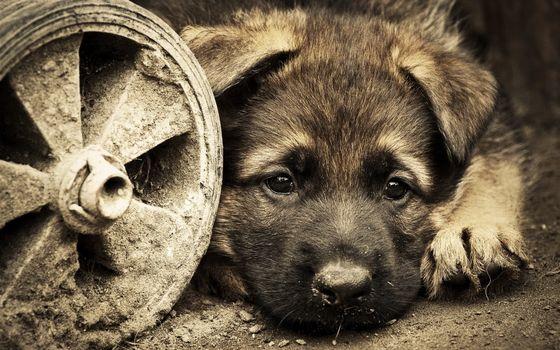 Фото бесплатно щенок, грусть, лапки, глаза, уши, колесо, фото, сепия, собаки