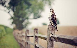 Фото бесплатно Сокол, крылья, столб