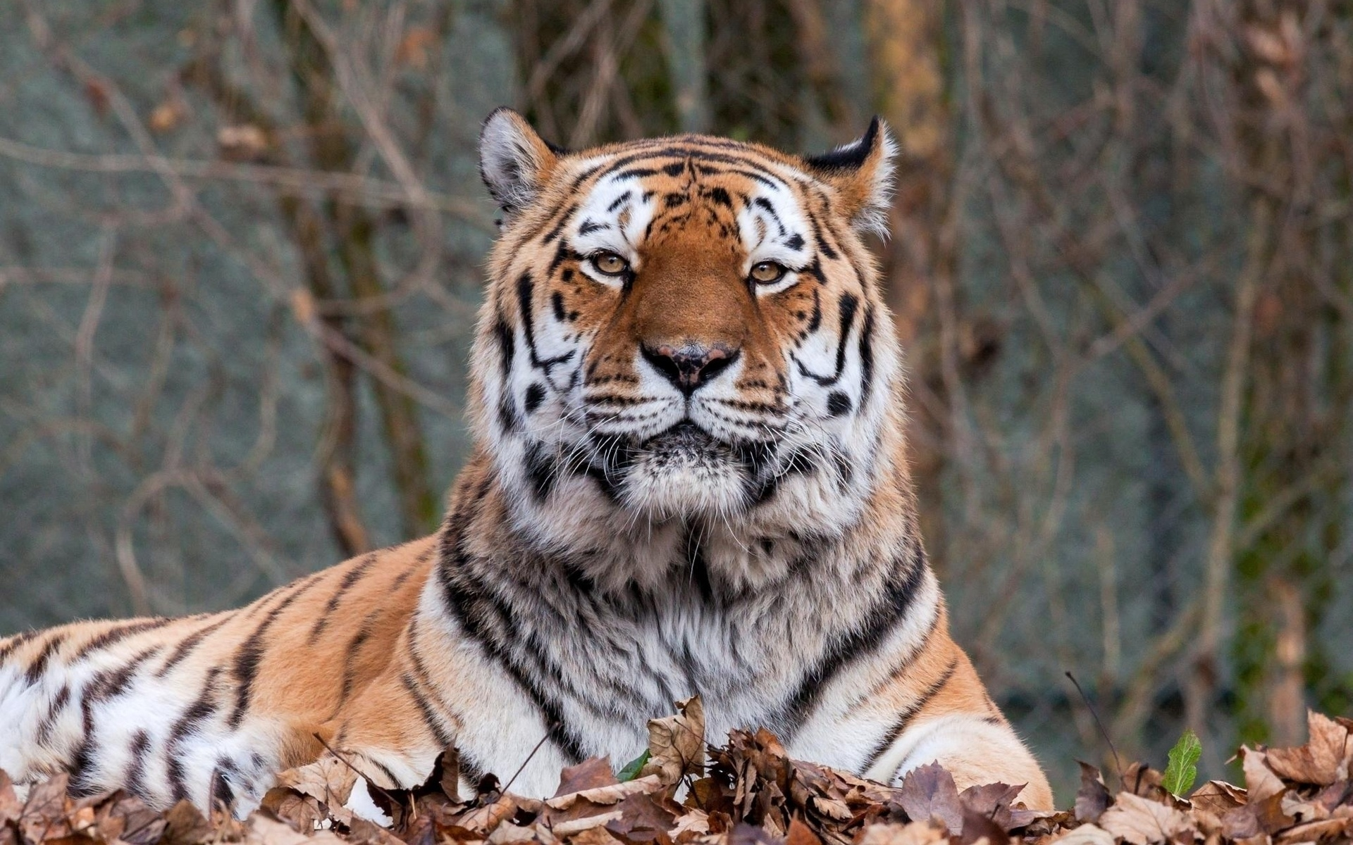 тигр, хищник, полосатый