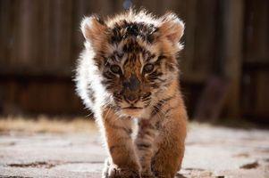 Заставки тигренок, тигр, пушистый