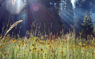 Заставки цветы, ромашки, лепестки, трава, бутоны, лес, елки, деревья, природа