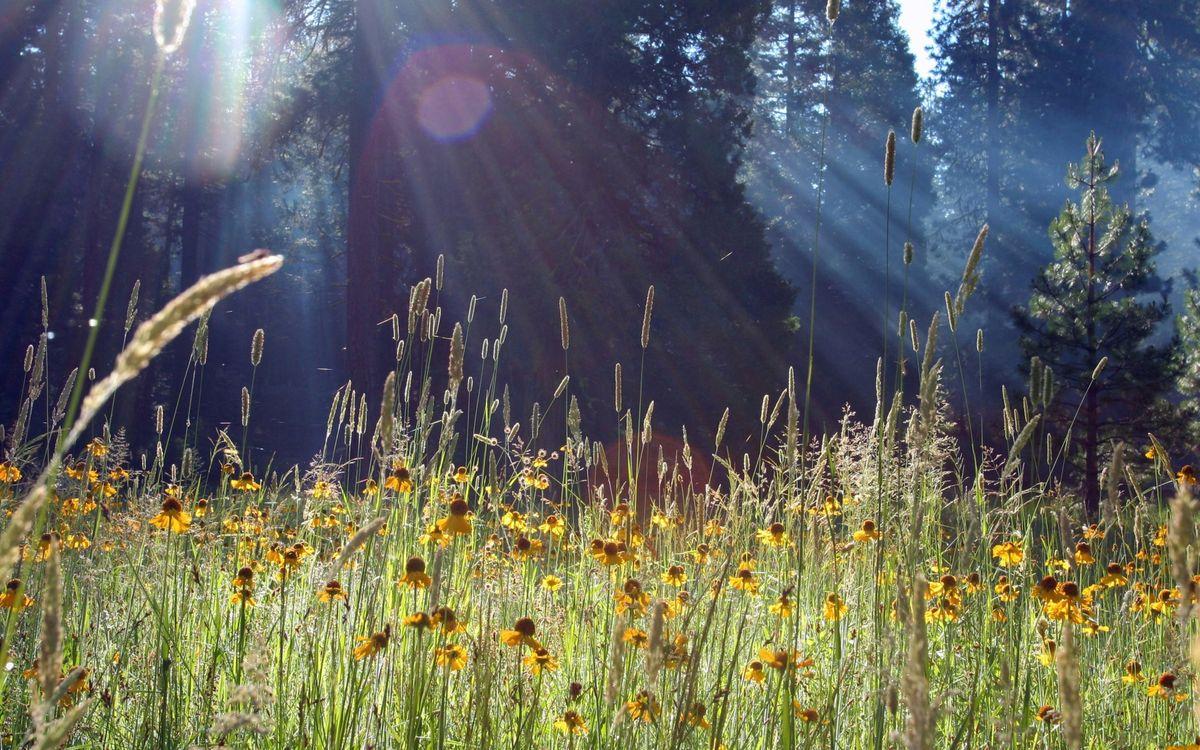 Фото бесплатно цветы, ромашки, лепестки, трава, бутоны, лес, елки, деревья, природа, природа