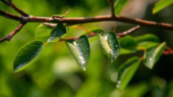 Фото бесплатно ветка, листья, зелень, кора, почки, весна, тепло, лето, вишня, природа