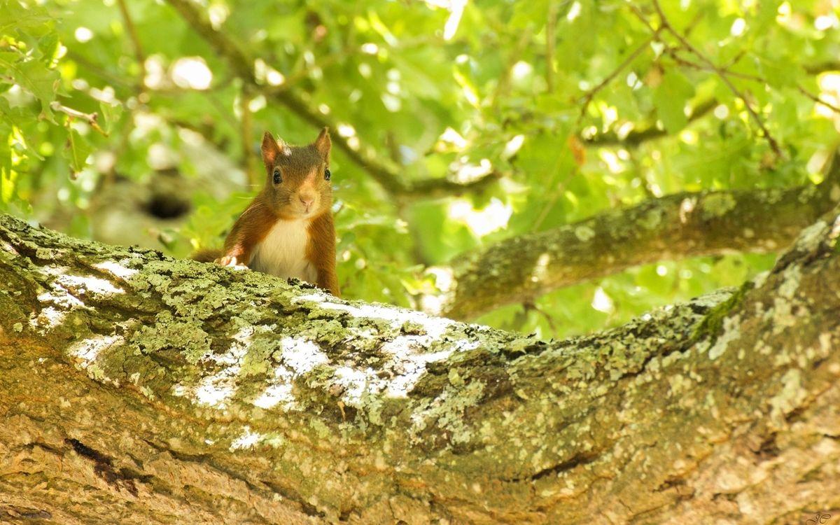 Фото бесплатно белка, глаза, мордашка, дерево, ветка, грызуны, животные, животные