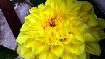 Бесплатные фото георгины,цветок,желтый,лепестки,листья,ветки,клумба