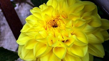 Фото бесплатно георгины, цветок, желтый