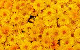 Фото бесплатно хризантемы, желтые, лепестки