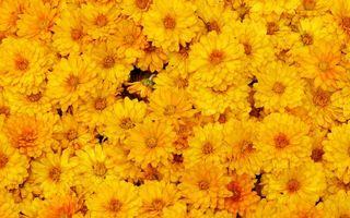 Photo free chrysanthemum, yellow, petals