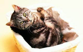 Фото бесплатно кот, темный, шерсть