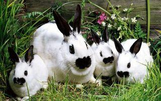 Заставки кролики, белые, трава