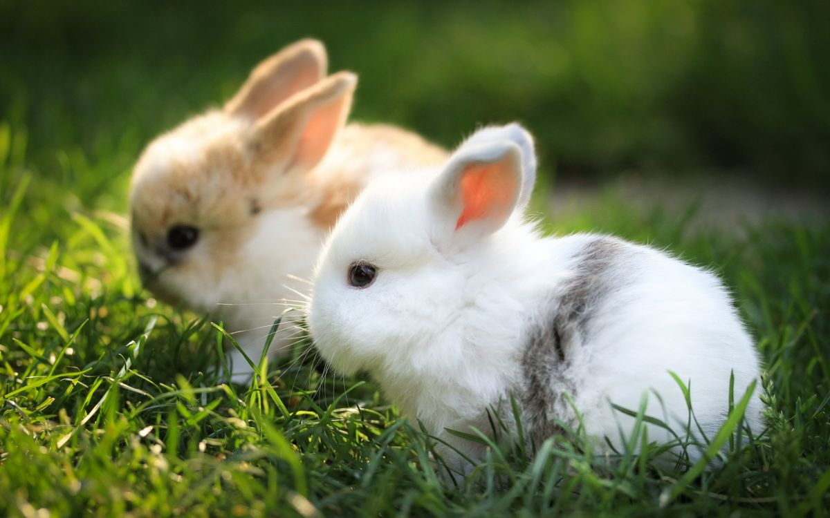 Фото бесплатно кролики, пара, шерсть, мех, трава, уши, шлаза бусинки, животные, животные