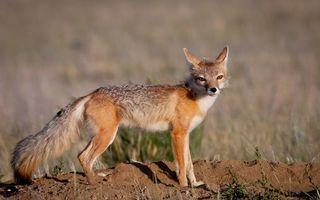 Photo free fox, redhead, mustache