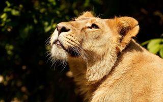 Фото бесплатно львица, взгляд, на солнце