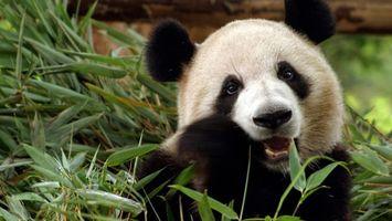 Бесплатные фото панда,зубы,клыки,трава,еда,шерсть,уши