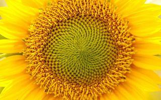 Фото бесплатно подсолнух, лепестки, желтые