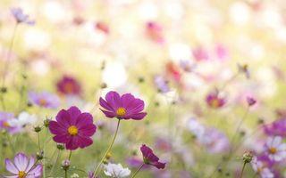 Фото бесплатно ромашки, бутоны, цветки