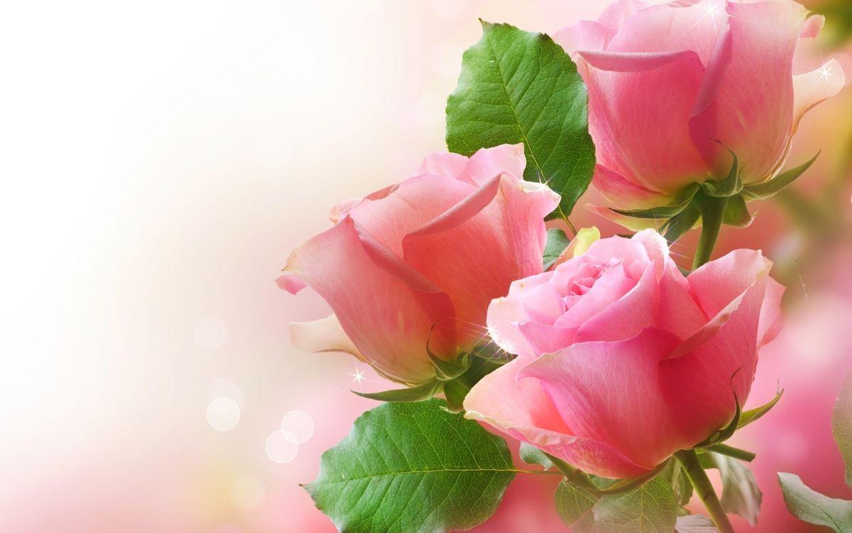 Фото бесплатно розы, розовые, листья - на рабочий стол