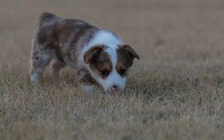 Фото бесплатно щенок, морда, уши