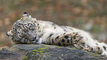 Фото бесплатно тигр, камень, уши