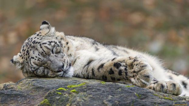 Бесплатные фото тигр,камень,уши,глаза,лапы,шерсть,игры