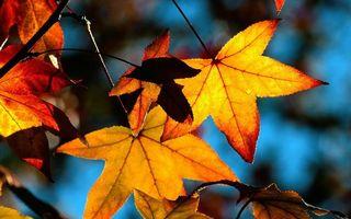 Фото бесплатно ветка, клен, листья