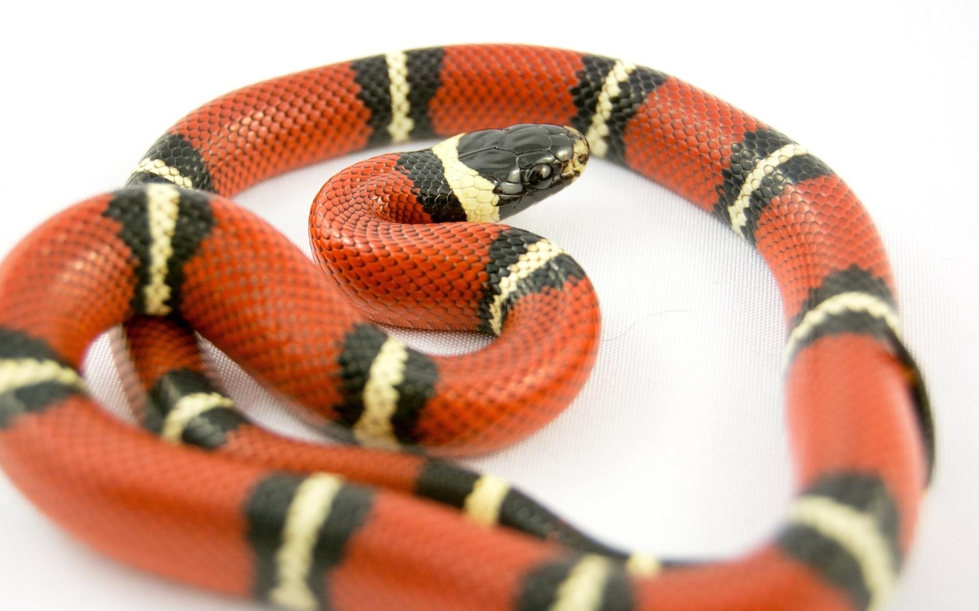 змея, полосатая, оранжевый