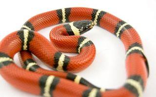 Фото бесплатно змея, полосатая, оранжевый, черный, белый, глаза, животные