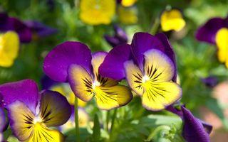 Бесплатные фото анютины глазки, поляна, трава, соцветия, лепестки, стебли, лето