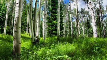 Заставки березы,роща,деревья,стволы,трава,елка,лето