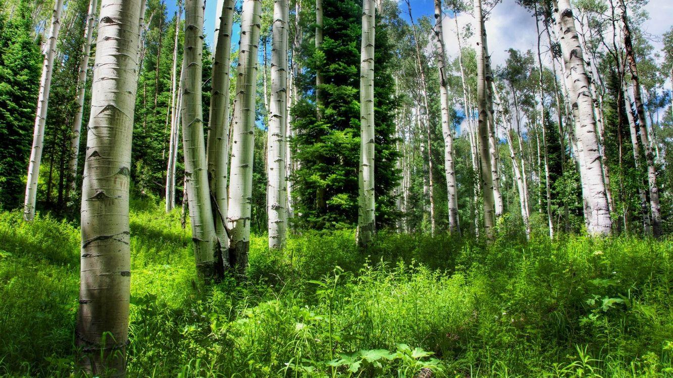 Фото бесплатно березы, роща, деревья, стволы, трава, елка, лето, тепло, небо, облака, природа, природа