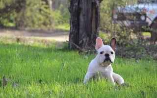 Бесплатные фото французский, бульдог, белый, сидит, трава, глаза, собаки