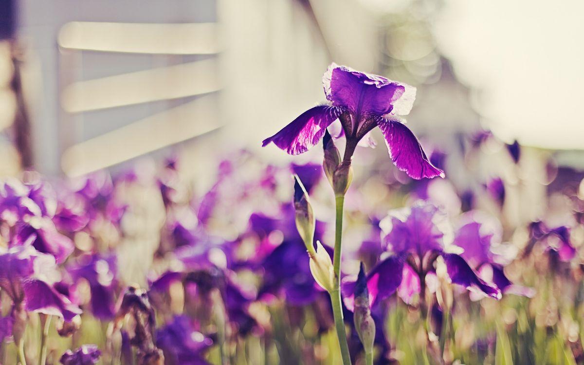 Фото бесплатно ирисы, лепестки, фиолетовые, стебли, зеленые, бутоны, цветы, цветы
