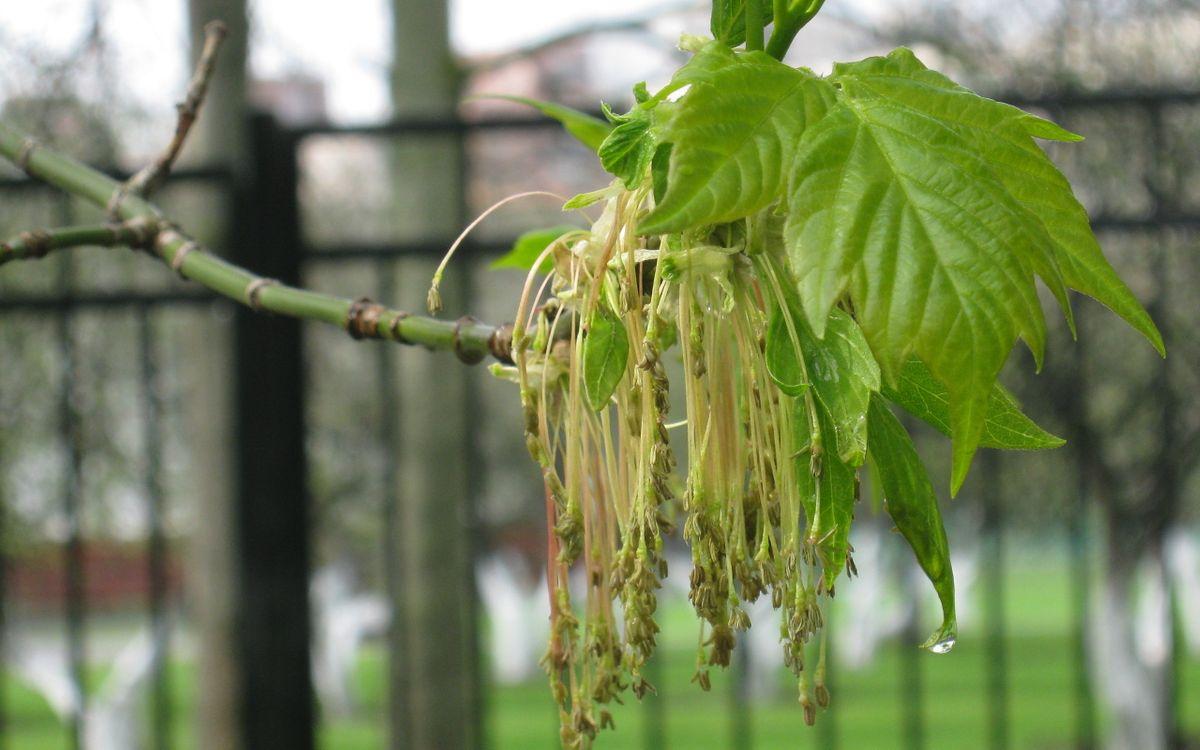 Фото бесплатно клен, ветка, листья, сережки, зеленые, мокрые, макро, макро