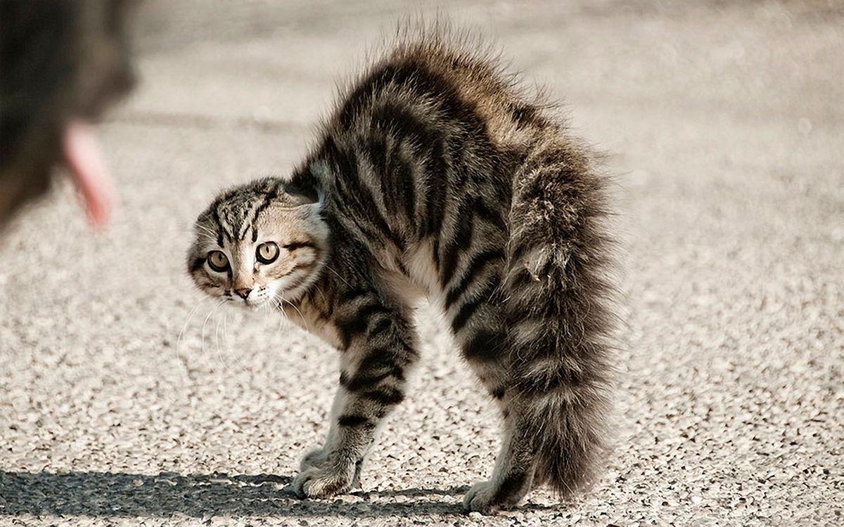 Фото бесплатно кот, испуг, бешеный, шерсть, хвост, лапы, глаза, усы, кошки, кошки