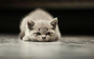 Фото бесплатно котенок, серый, морда