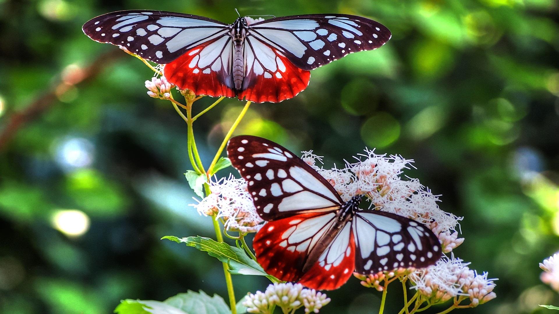 красивые, бабочки, крылья