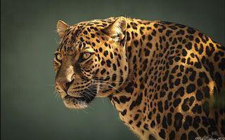 Фото бесплатно леопард, взгляд, стойка