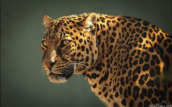 Заставки леопард, взгляд, стойка