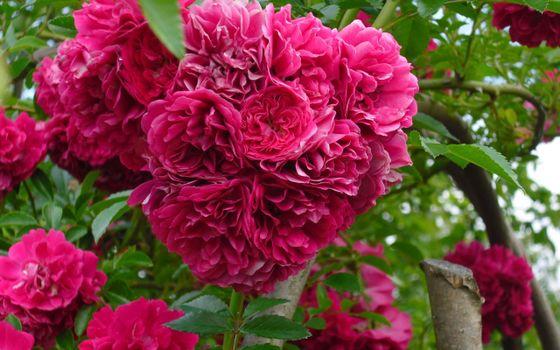Фото бесплатно лепестки, розовые, стебли