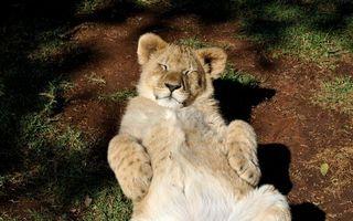 Фото бесплатно лев, молодой, морда