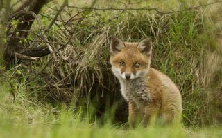 Photo free fox, muzzle, ears
