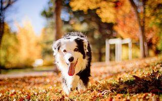 Бесплатные фото пес,мохнатый,шерсть,хвост,лапы,глаза,язык