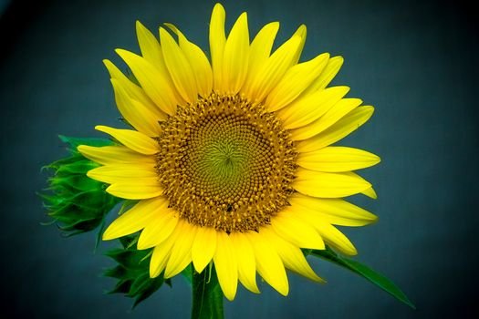 Фото бесплатно подсолнух, цветок, флора
