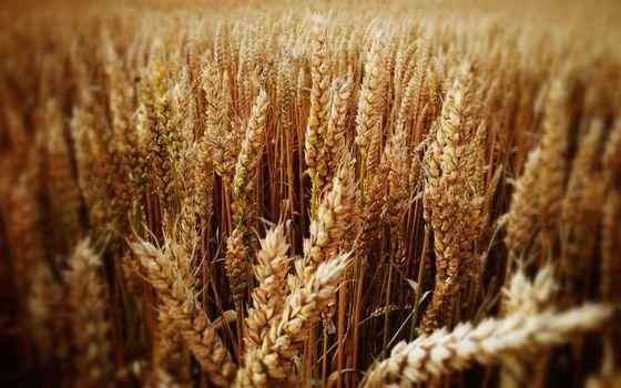 Фото бесплатно пшено, поле, зерна