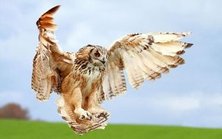 Photo free owl, flight, wings