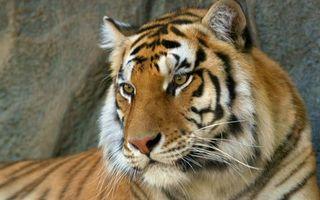 Заставки тигр, шерсть, глаза, нос, уши, хищник, животные