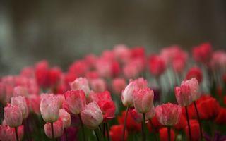 Бесплатные фото тюльпаны, розовые, лепестки, бутоны, стебли, зеленые, цветы