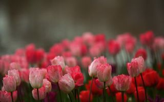 Photo free tulips, pink, petals