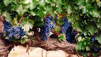 Заставки виноград,ветка,гроздья,дерево,кора,листья,лето