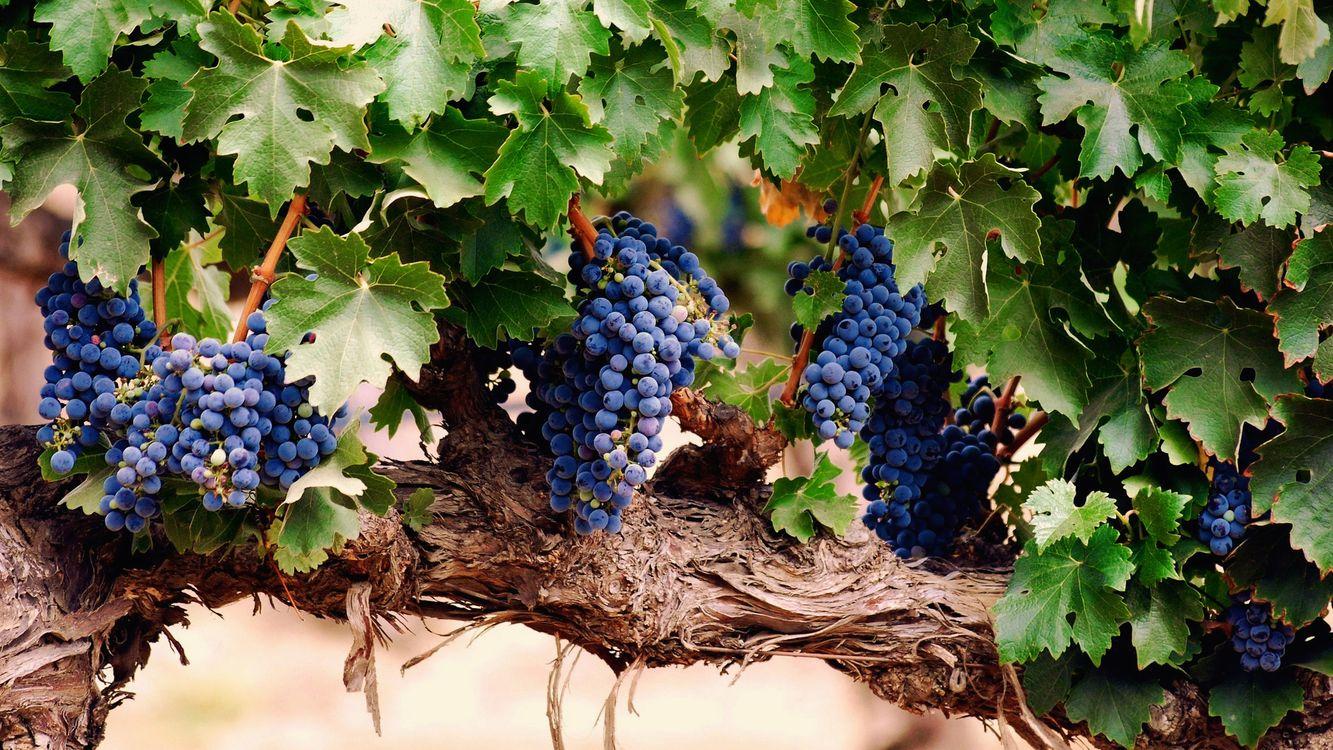 Фото бесплатно виноград, ветка, гроздья, дерево, кора, листья, лето, урожай, плоды, ягоды, еда, еда